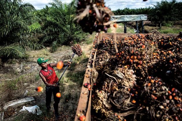 A farmworker in Berau, Indonesia, loading oil palm bunches. Photograph by Kumal Jufri